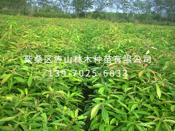 红花七叶树