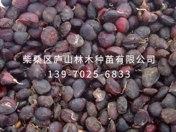 紫玉兰种子